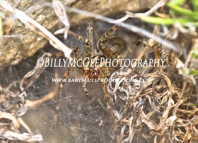 Funnel Web Grass Spider - 03 Sep 10