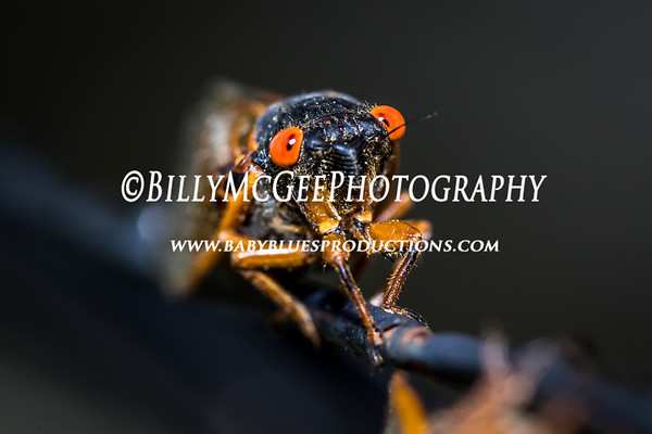 What's Bugging Me Cicada's - 21 May 2017