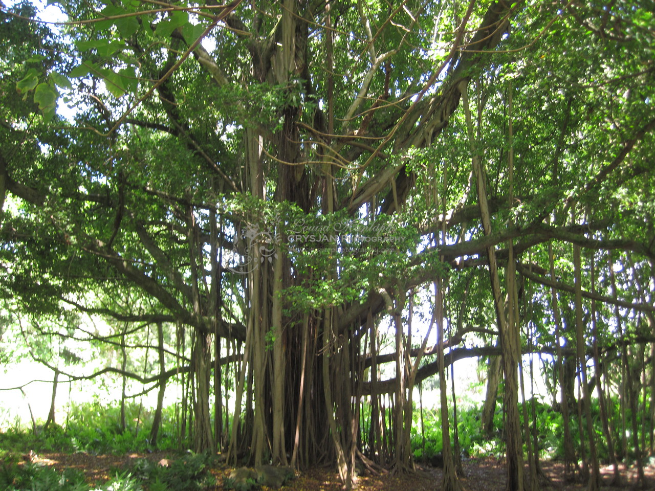 Banyan Tree at Haleakala National Park.  Taken from a small Canon SD870 IS 10 megapixel digital camera...