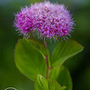 Rosy Spirea, Mt Rainier National Park, Washington