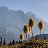 Pasqueflower Seedheads, Mt Rainier National Park, Washington