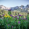 Arrowleaf Groundsel and Rosy Spirea, Mt Rainier National Park, Washington