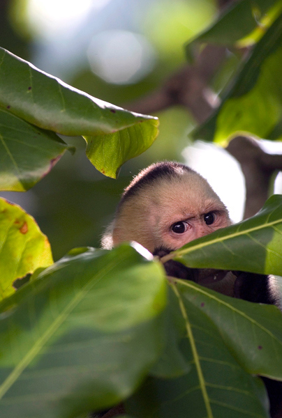 A curious Capuchin (also known as white faced) monkey in Manuel Antonio Park in Costa Rica, Central America. Costa Rican Wildlife photographed by a professional wildlife and nature photographer named Christina Craft. She does a documentary style of photography towards her subject.