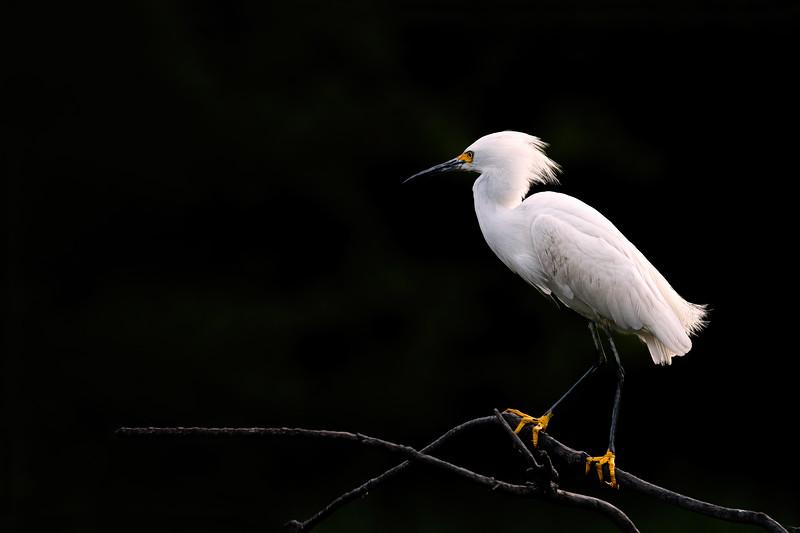 Snowy Egret - Pinckney Island NWR
