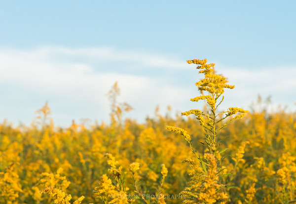 Blue Skies and Goldenrod