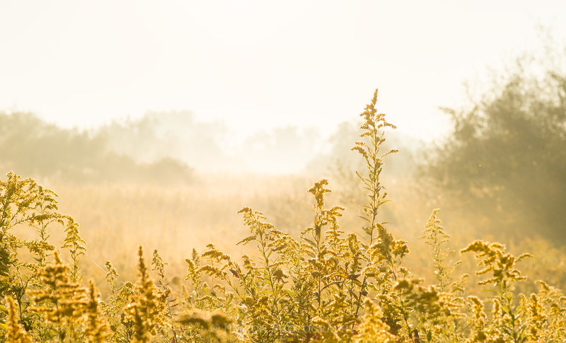 Sun Burning through Fog in a Goldenrod Field