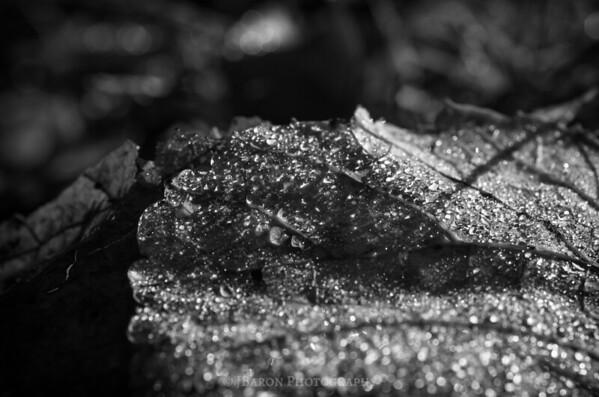 Morning Dew on a Leaf - Monochrome