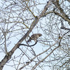 A juvenile Red-tail?  Jury's still out