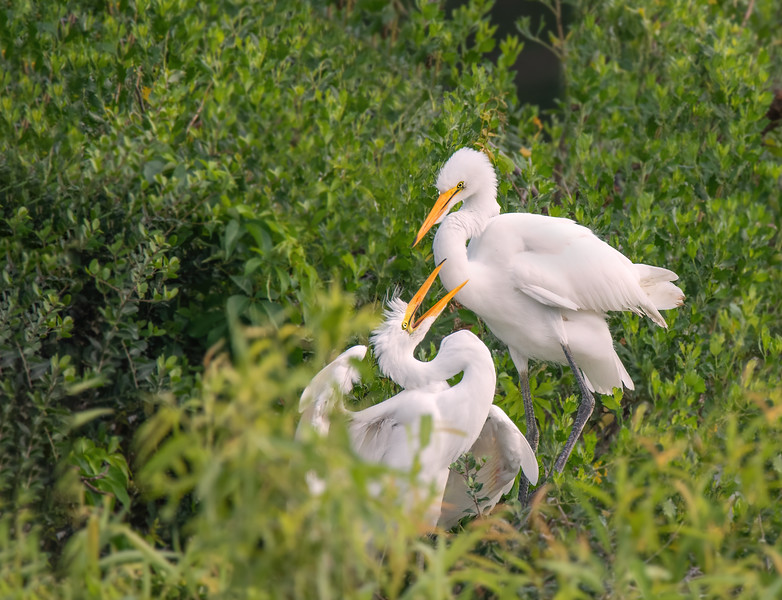 Great Egret and Chick - St. Augustine, FL