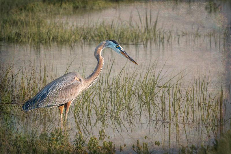 Great Blue Heron - Pinckney Island NWR