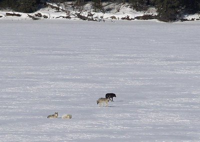 Wolf Pack at Mt Robson