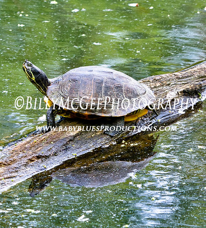 Turtles in Pond - 07 May 10