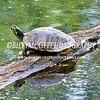 King-Turtle - IMG-7426