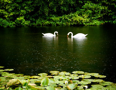 Swan Lake in Summertime 1