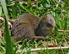 mongoose, hana, maui