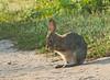 rabbit, bolsa chica, orange county