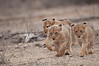 three lion cubs walking towards us