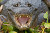 Caiman with an open mouth