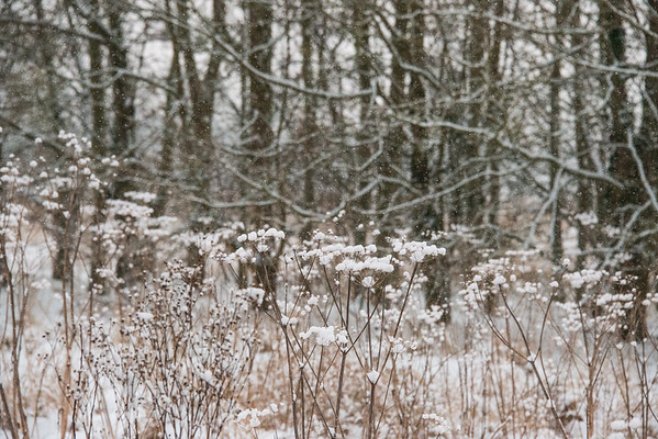 Snow branches and hogweed-1