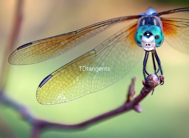 Blue Dasher Dragonfly Up Close