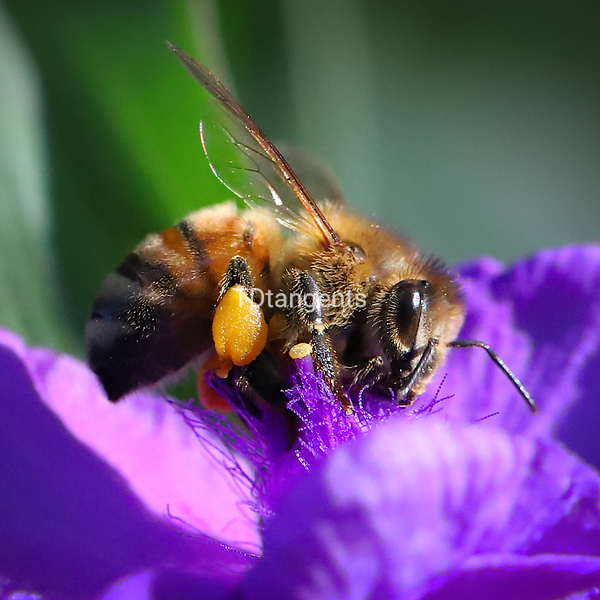 Bee with Pollen Sac