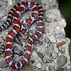Milk Snake Wissachickon Valley Park