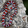 Milk Snake Wissachickon Valley Park