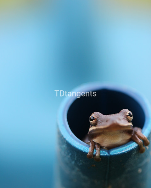 Frog in Watering Can