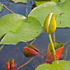 Water Lily in the Racquette