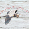 Great Blue Heron - Conowingo Dam, MD