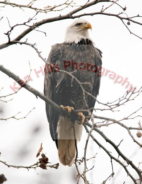 Bald Eagle - Conowingo Dam, MD