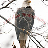 Bald Eagle - Conowingo Dam, MD