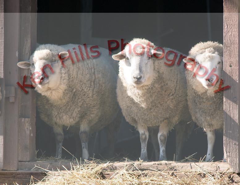 Sheep - Washington Crossing State Park, PA