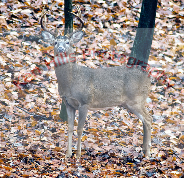 White Tail Deer - Great Falls National Park, MD