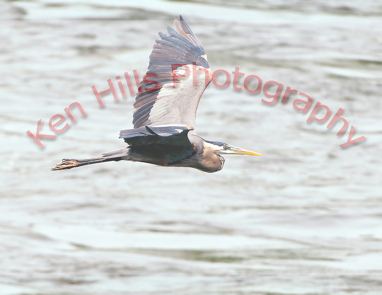 Great Blue Heron - Conowingo Dam, MD