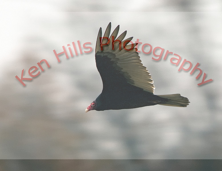 Turkey Vulture - Montgomery County, MD