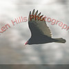 Turkey Vulture - Montgomery County, MD