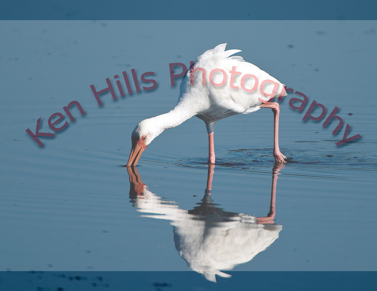 White Ibis - Merrit Island, FL