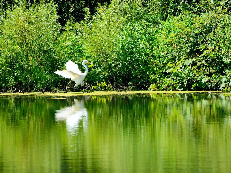 Egret in for a Landing