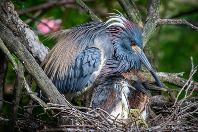 Tricolored Heron, Alligator Farm, St. Augustine Florida