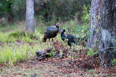 St Augustine Florida Osceola Turkey Gobblers and Hens after Sunrise