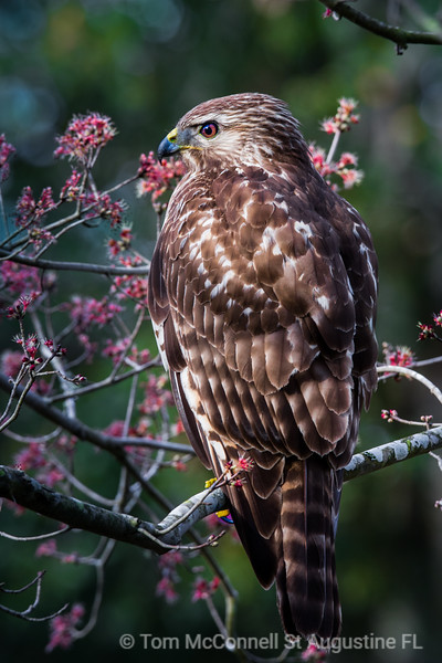 Red-Shouldered Hawk on Red Maple Tree