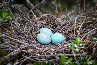 Tricolored Heron Eggs, Alligator Farm, St. Augustine Florida