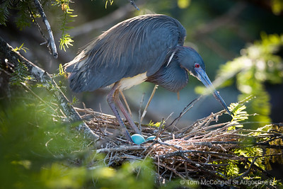 Little Blue Heron with Eggs nest comfortably at the St. Augustine Alligator Farm Zoological Park