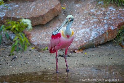 Roseate Spoonbill loves the St. Augustine Alligator Farm Zoological Park