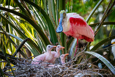 Roseate Spoonbill with Babies, Alligator Farm, St. Augustine Florida