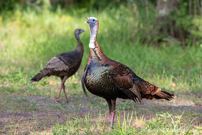 Florida Osceola Turkey Gobbler and Hen, St. Augustine Florida
