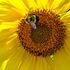 Bee on Sunny