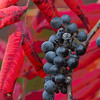 Wild Grapes and Sumac