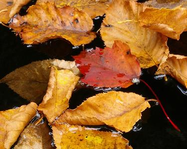 Red Leaf Black Water